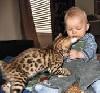 REGALO cuccioli di gatto 'sacro di Bengal '