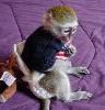 1 Natale adozione scimmia capuchin