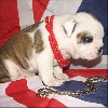 AKC e CKC Reg.English Bulldog cuccioli per qualsia
