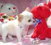chihuahua cucciolo per i migliori prcie sempre