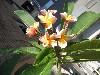 Plumeria  tricolor