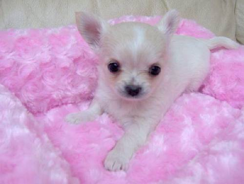 Lovable and just the best Chihuahua puppies you ca